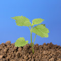 Small plant grows out of the dirt in a garden with blue sky Royalty Free Stock Image