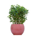 Small plant a in a pot isolated on a white background Royalty Free Stock Photo