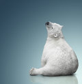 Small polar bear cub sit on background Stock Image