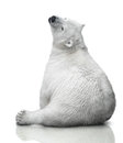 Small polar bear cub sit on white background Stock Photos