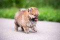 Small pomeranian puppy walking on the asphalt road Royalty Free Stock Photos