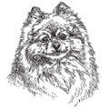 Small Pomeranian vector hand drawing illustration