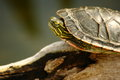 Small Pond Turtle Close-Up Royalty Free Stock Photo