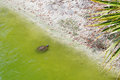 A Small Pond With Turtle