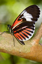 Small Postman Butterfly (Heliconius erato) Royalty Free Stock Photo