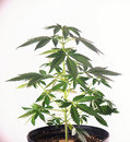 Small potted cannabis plant at 4 weeks over white backg Royalty Free Stock Photo