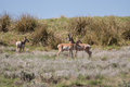 Small Pronghorn Antelope Herd Royalty Free Stock Photo