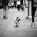 Small pug tied up in nyc a dog to a pole manhattan ny Stock Images