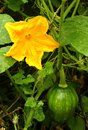 A small  pumpkin in the  plant with flower,vein, leaves and bud in farm field Royalty Free Stock Photo