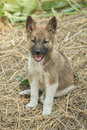 Small puppy of the breed Siberian Husky is sitting on the hay op Royalty Free Stock Photo