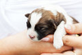 Small puppy dog in woman hand resting closeup Stock Photos