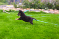 Small puppy mongrel play outdoors on background of grass Royalty Free Stock Photos