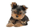 Small puppy of the Yorkshire Terrier Royalty Free Stock Image