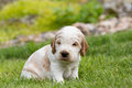 Small purebred English Cocker Spaniel puppy Royalty Free Stock Photo