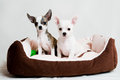 Small purebred puppies isolated on white background Royalty Free Stock Photography