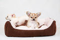 Small purebred puppies on white background pet in the studio Stock Photo