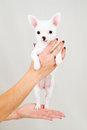 Small purebred puppy on white background Stock Images