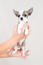 Small purebred puppy on white background Stock Photos