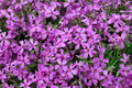 Small purple flowers Royalty Free Stock Photo