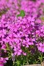 small purple flowers Royalty Free Stock Photo
