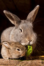 Small rabbit with mum Stock Photography