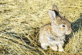 A small rabbit sits on a dry grass hay