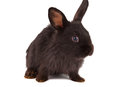 Small racy dwarf black bunny isolated Stock Images
