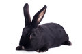Small racy dwarf black bunny isolated on white background studio photo Royalty Free Stock Images