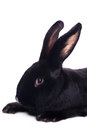 Small racy dwarf black bunny isolated on white background studio photo Stock Photo