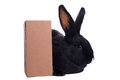 Small racy dwarf black bunny isolated on white background studio photo Royalty Free Stock Photos