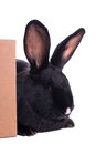 Small racy dwarf black bunny isolated on white background studio photo Stock Images