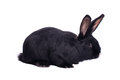Small racy dwarf black bunny isolated on white background studio photo Royalty Free Stock Photography