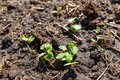 Small radish sprouts on the ground in the garden Royalty Free Stock Photo