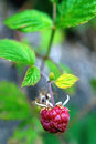 Small raspberry wild in the woods Royalty Free Stock Photography