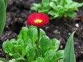 Small Red Flower Glistening with Rain Macro
