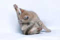 Small red ginger kitten licks its hind paw Royalty Free Stock Photo