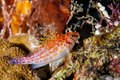 A small red hawk fish on a hard coral in raja ampat papua indonesia Royalty Free Stock Images