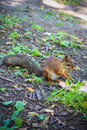 Small red squirrel eats, forest animal Royalty Free Stock Photo
