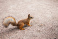 Small red squirrel with peanuts Royalty Free Stock Photo