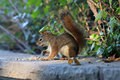 Small Red Squirrel Royalty Free Stock Photo