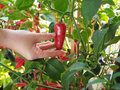 Small red sweet pepper on hand Royalty Free Stock Photo