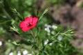 Small red wild flower in grassland