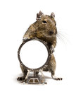 Small rodent with big drum hamster standing full length closeup on white background Stock Photography