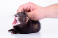 Small rodent ferret animal in human hand on a white background Stock Photos