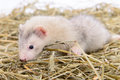 Small rodent ferret animal sits on dry hay Royalty Free Stock Photos