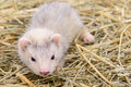 Small rodent ferret animal sits on dry hay Stock Photography
