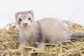 Small rodent ferret animal sits on dry hay Royalty Free Stock Photography