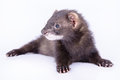 Small rodent ferret animal on a white background Royalty Free Stock Image