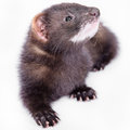 Small rodent ferret animal on a white background Stock Photography