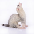 Small rodent ferret animal on a white background Royalty Free Stock Photography